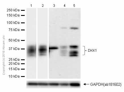 Western blot - Anti-DKK1 antibody [EPR4759] (ab109416)