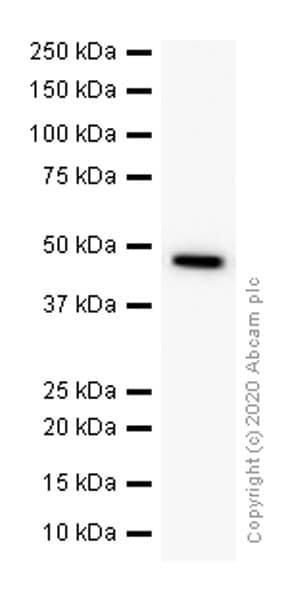 Western blot - Anti-Cdc37 antibody [EPR4934] (ab109419)