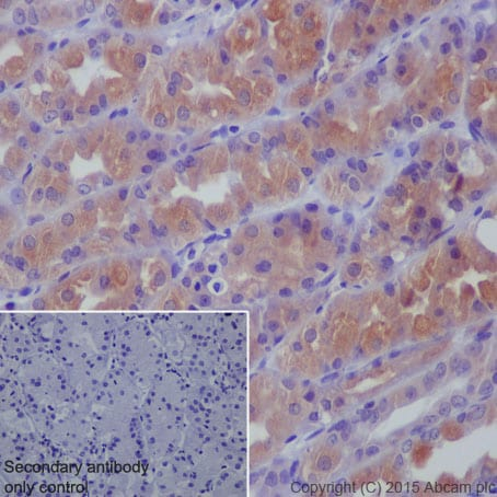 Immunohistochemistry (Formalin/PFA-fixed paraffin-embedded sections) - Anti-GGT1/GGT antibody [EPR5288] (ab109427)