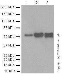 Western blot - Anti-Fibulin 5 antibody [EPR4506] (ab109428)