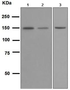 Western blot - Anti-Integrin alpha 2 antibody [EPR5789] (ab109432)
