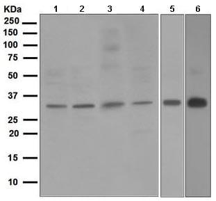 Western blot - Anti-NEK7 antibody [EPR4901] (ab109433)
