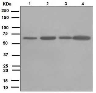 Western blot - Anti-Leukotriene A4 hydrolase/LTA4H antibody [EPR5712] (ab109434)