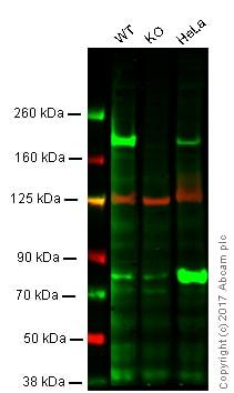 Western blot - Anti-WSTF antibody [EPR1703] (ab109439)