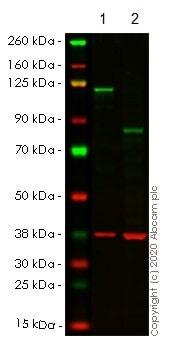 Western blot - Anti-NFkB p100/NFKB2 antibody [EPR4686] (ab109440)