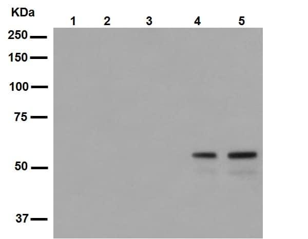 Western blot - Anti-SHC (phospho Y239 + Y240) antibody [EP419] (ab109455)