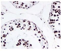 Immunohistochemistry (Formalin/PFA-fixed paraffin-embedded sections) - Anti-Histone H4 (acetyl K16) antibody [EPR1004] (ab109463)