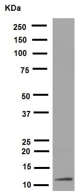 Western blot - Anti-Histone H4 (acetyl K16) antibody [EPR1004] (ab109463)