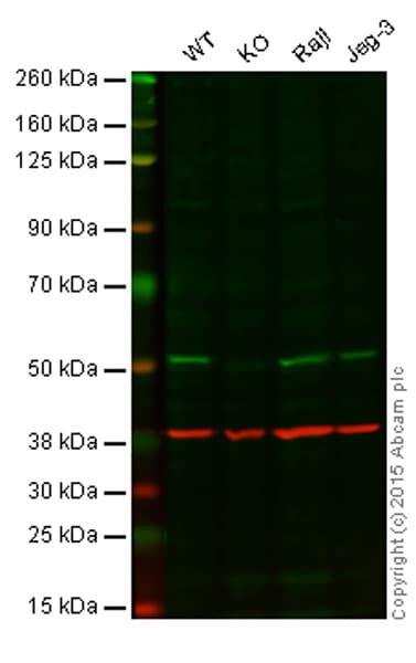 Western blot - Anti-APG5L/ATG5 antibody [EPR4797] (ab109490)