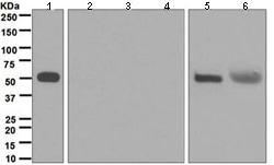 Western blot - Anti-IgG4 antibody [EP4420] (ab109493)