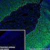 Immunohistochemistry (Frozen sections) - Anti-PBR antibody [EPR5384] (ab109497)
