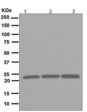 Western blot - Anti-Peroxiredoxin 1/PAG antibody [EPR5433] (ab109498)