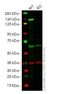 Western blot - Anti-Phospholipase C gamma 1/PLC-gamma-1 antibody [EPR5358] (ab109501)