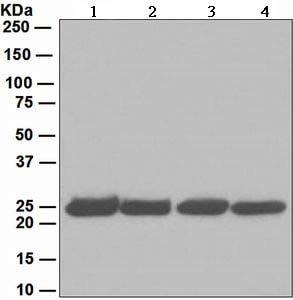 Western blot - Anti-Proteasome 20S alpha 2/HC3 antibody [EPR5454] (ab109502)