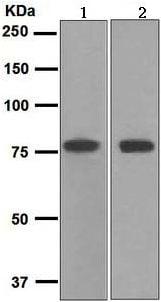 Western blot - Anti-Transferrin antibody [EPR2932(2)] - Serum Loading Control (ab109503)