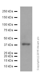 Western blot - Anti-Islet 1 antibody [EP4182] - Neural Stem Cell Marker (ab109517)