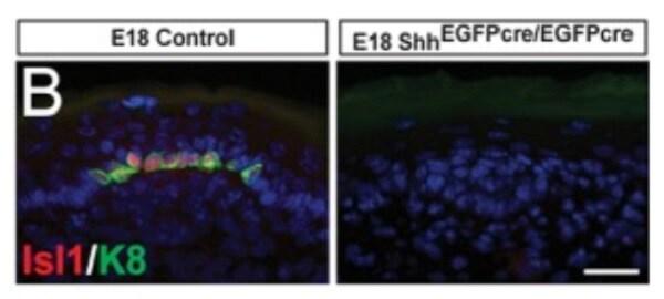 Immunohistochemistry (Frozen sections) - Anti-Islet 1 antibody [EP4182] (ab109517)
