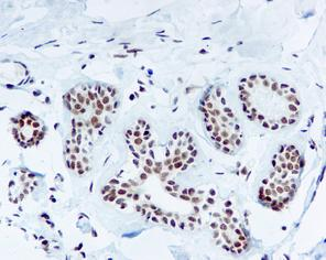 Immunohistochemistry (Formalin/PFA-fixed paraffin-embedded sections) - Anti-TFIIB antibody [EP4588] (ab109518)