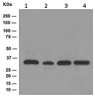 Western blot - Anti-TFIIB antibody [EP4588] (ab109518)