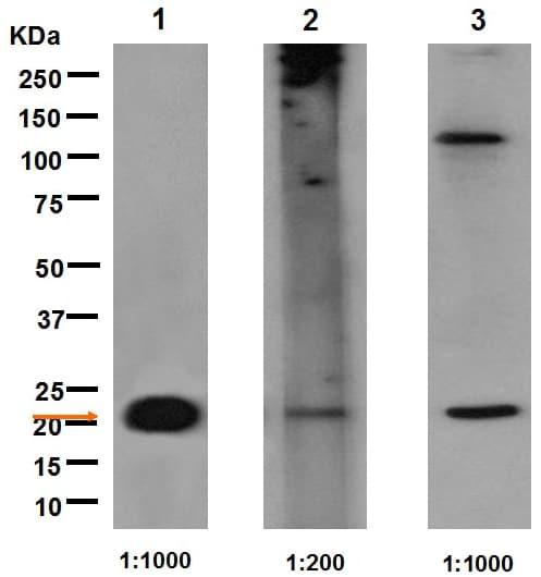 Western blot - Anti-Galectin 8/Gal-8 antibody [EPR4857] (ab109519)
