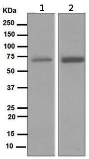 Western blot - Anti-NOXA2/p67phox antibody [EPR5065] (ab109523)