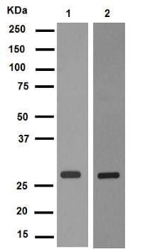 Western blot - Anti-Rab5 antibody [EPR5438] - Early Endosome Marker (ab109534)