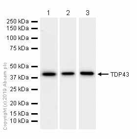 Western blot - Anti-TDP43 antibody [EPR5810] (ab109535)