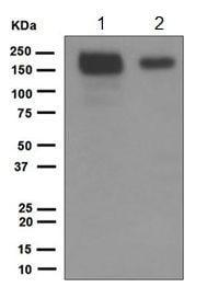 Western blot - Anti-Jagged1 antibody [EPR4290] (ab109536)