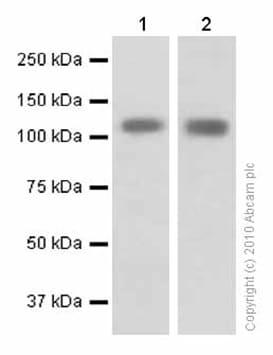 Western blot - Anti-KAP1 antibody [EPR5249] (ab109545)