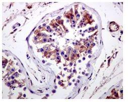 Immunohistochemistry (Formalin/PFA-fixed paraffin-embedded sections) - Anti-CYB5R3 antibody [EPR3867] (ab109620)