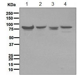 Western blot - Anti-Mre11 antibody [EPR3471] (ab109623)