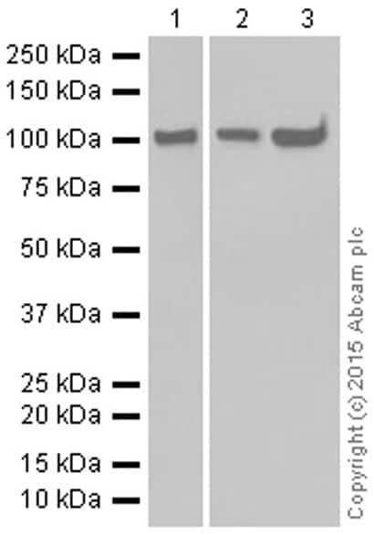 Western blot - Anti-Hsp105/HSP110 antibody [EPR4576] (ab109624)