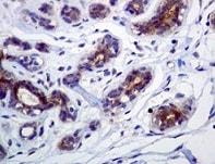 Immunohistochemistry (Formalin/PFA-fixed paraffin-embedded sections) - Anti-FNTB antibody [EPR4707] (ab109625)
