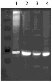 Western blot - Anti-Hsp60 antibody (ab109660)