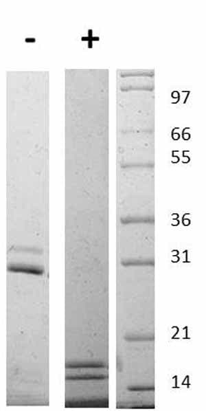 Other - Recombinant mouse IL-17AF protein (ab109674)