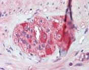 Immunohistochemistry (Formalin/PFA-fixed paraffin-embedded sections) - Anti-Hsp90 antibody (ab109704)