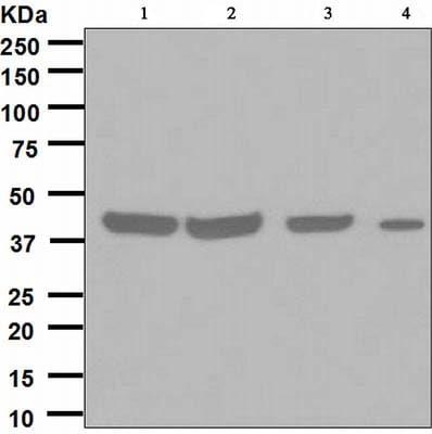 Western blot - Anti-FDFT1 antibody [EPR4626] (ab109723)