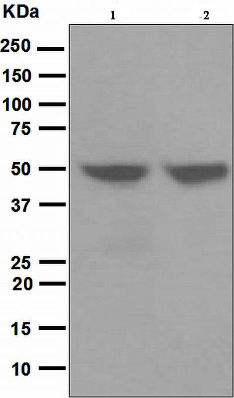 Western blot - Anti-Cytokeratin 17 antibody [EP1623] - Cytoskeleton Marker (ab109725)