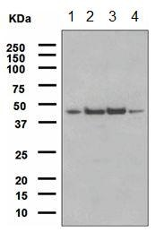 Western blot - Anti-FNTA antibody [EPR4704] (ab109738)