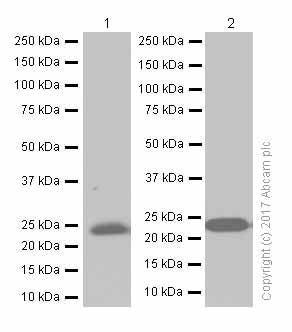 免疫印迹-抗髓鞘少突胶质细胞糖蛋白抗体[EP4281](ab109746)