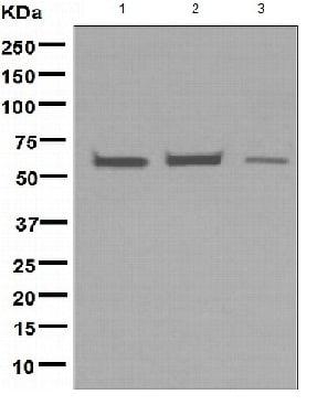 Western blot - Anti-EHD1 antibody [EPR4955] (ab109747)