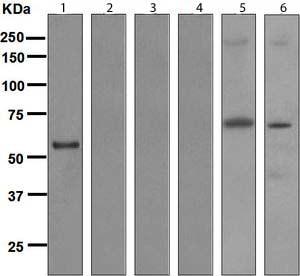 Western blot - Anti-Human IgG3 antibody [EPR4419] (ab109761)