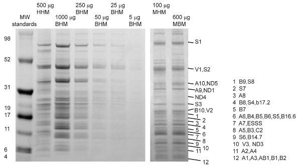 Immunoprecipitation - Anti-Complex I Immunocapture antibody [18G12BC2] (ab109798)