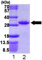 SDS-PAGE - Recombinant Human RND1 protein (ab109840)