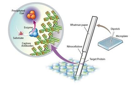 Functional Studies - Complex IV Human Enzyme Activity Dipstick Assay Kit (ab109876)