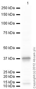 Western blot - Recombinant Human MPG/AAG protein (ab109955)