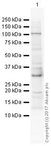 Western blot - Anti-Histone H1.0 antibody [34] (ab11079)