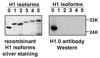 Western blot - Anti-Histone H1.0 antibody [34] (ab11079)