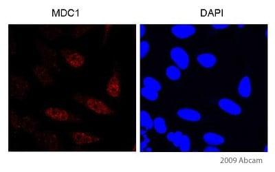 Immunocytochemistry/ Immunofluorescence - Anti-MDC1 antibody (ab11169)