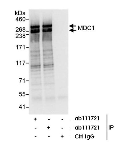 Immunoprecipitation - Anti-MDC1 antibody (ab11171)